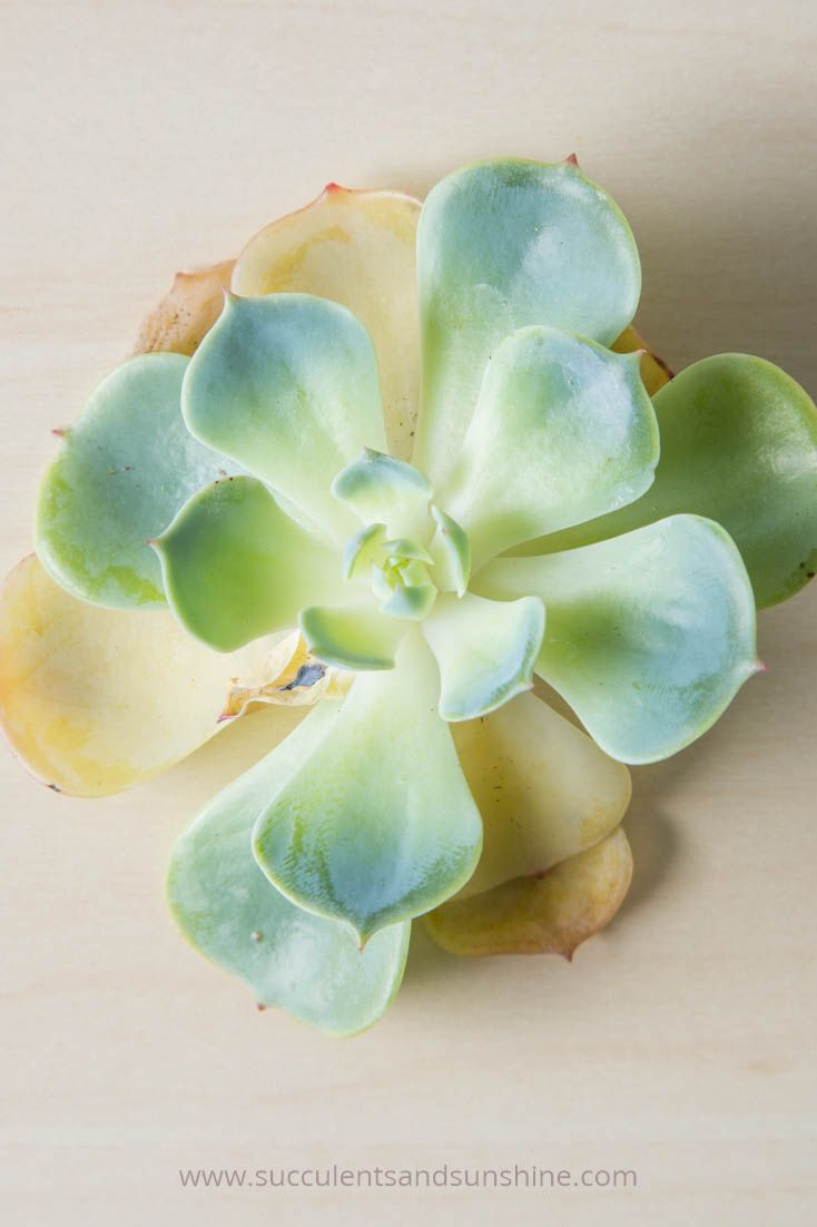 Succulents that have been overwatered will start to get yellow mushy leaves and black spots