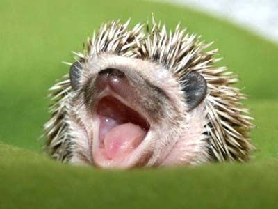 Another cute little hedgehog....aahh   Looks like he is smiling :)