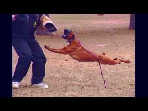 Schutzhund Boxer, Police K9, Working Boxer Dog,Deutscher Boxer