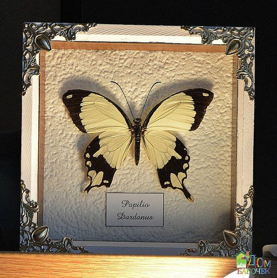 Wedding Gift  Venus symbol Framed Tropical Butterfly Papilio