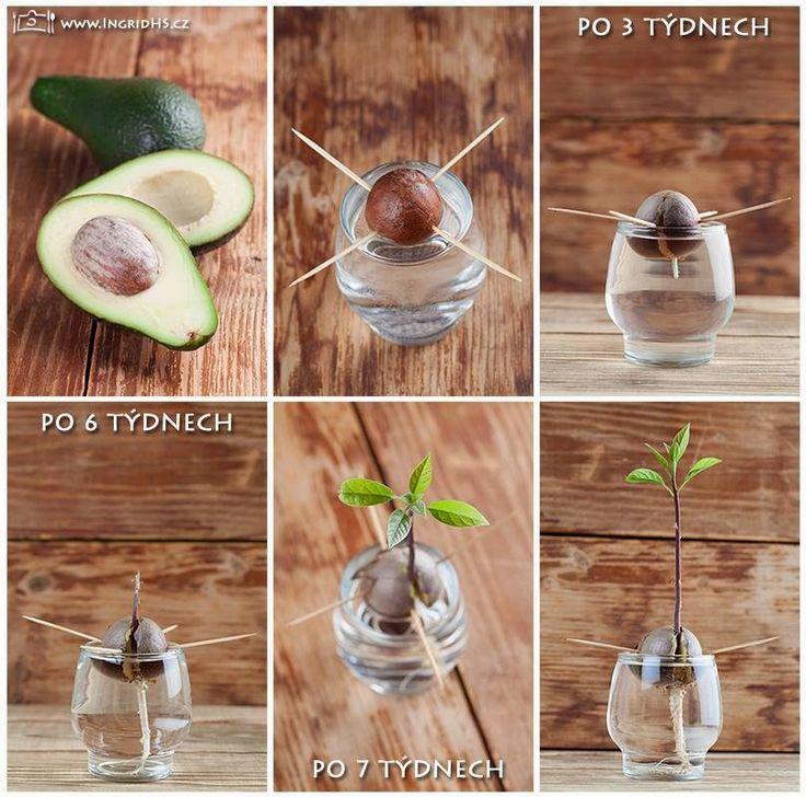 Consiga uma muda fácil de abacateiro, colocando o caroço na água