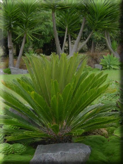 14 Best Broodbome Images On Pinterest | Palm Trees, Botany And Palms