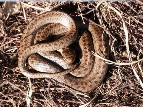 Smooth Snake: a real smoothie   Nature Notes from Dorset