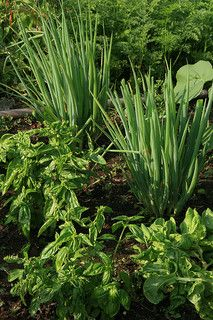Intercropping: basil may repel many harmful pests and could be planted with beets, cabbage, eggplant, oregano, oregano, peppers, potatoes, pole beans and tomatoes