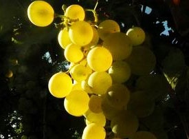 Qui si parla d'uva e di vino e di una storia vitivinicola di oltre mille anni.