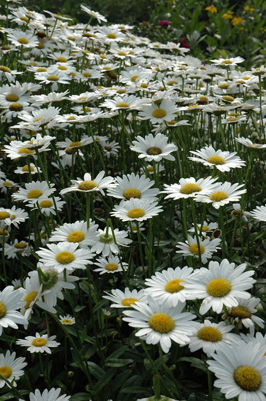 becky shasta daisy height  3 feet spread  24 inches sun to partial shade zone 3