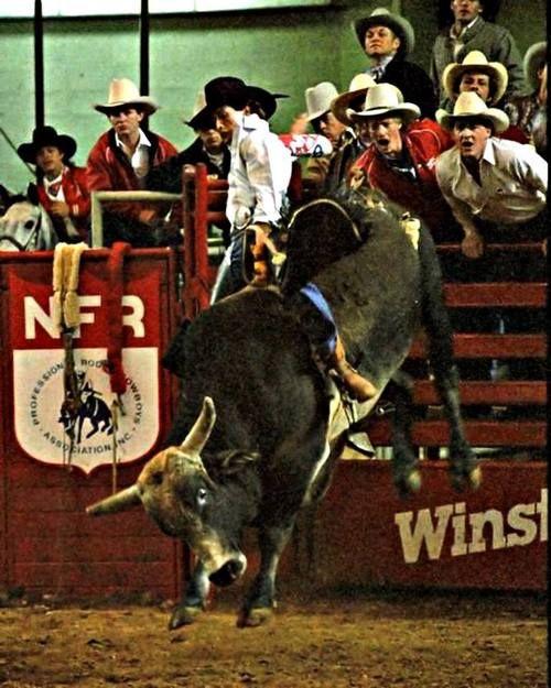 Bodacious (bull)