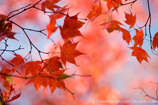 Google Image Result for http://chiaroscuro.baltiblogs.com/archives/japanese_maple.jpg