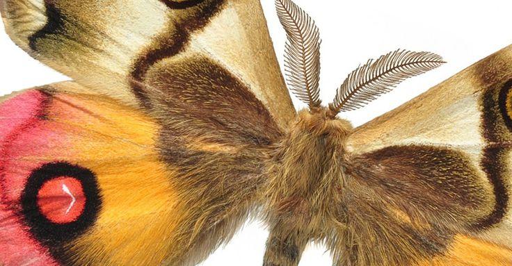 Deberíamos estar orgullosos de nuestras mariposas. No solo por su belleza única sino también por su garra.