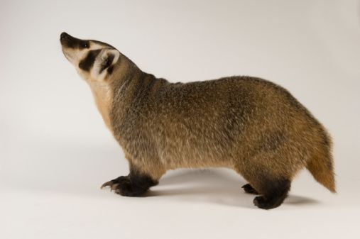 32 Awesome baby american badger images