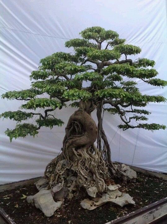 4174fb1a15981980eb8c06e2bdaa3100--bonsai-ficus-bonsai-plants Small Garden Designs With Trees on small bonsai tree, growing wisteria as a tree, small trees for small yards, small flower plants tree, small flower gardens, adams crabapple tree, small trees for small gardens, small front yard landscaping ideas, acer palmatum japanese maple tree,