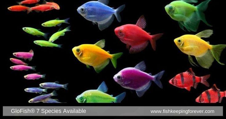 Glow Fish Freshwater Fish Tropical Fish Fish Tank Coolest