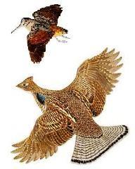 Ruffed Grouse and an American Woodcock