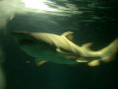 mystic connecticut aquarium shark
