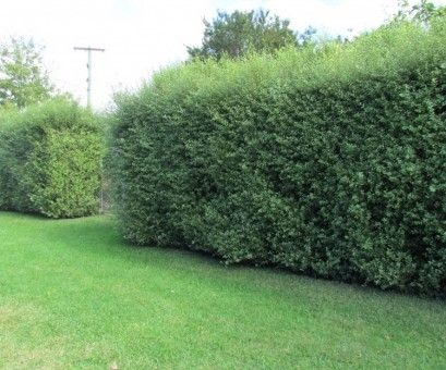 Pittosporum tenuifolium. Drought resistant. Big shrubby hedge. You can use electric trimmers on this and it still looks good (some plants leaves get all chopped up and look horrible).