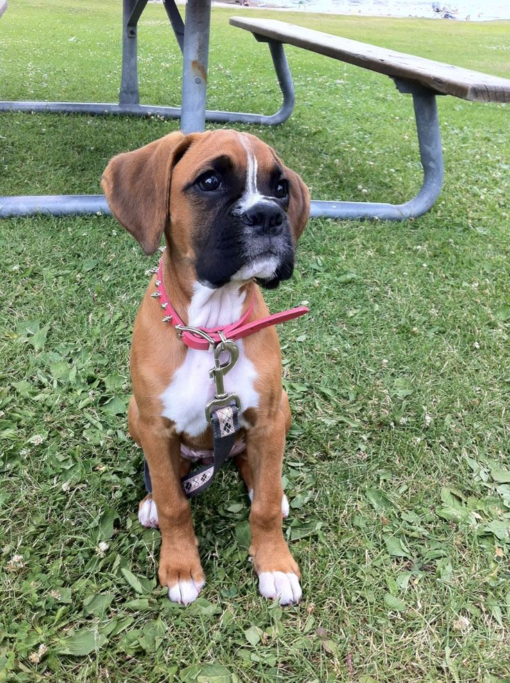 Take me on a walkBoxers Rottweilers, Boxers Puppies, Boxers Baby, Boxers Dogs, Boxers Love, Baby Boxes, Boxer Puppies, Dogs Cat, Baby Boxers