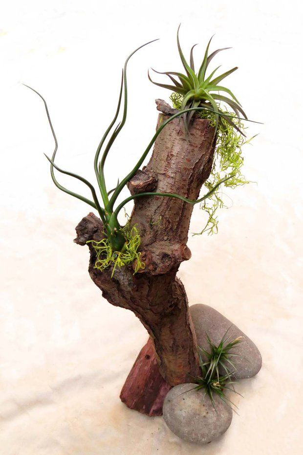 Air plant tillandsia  centerpiece on tree trunk