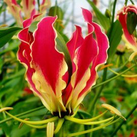 Rośliny niezimujące które należy wykopać we wrześniu