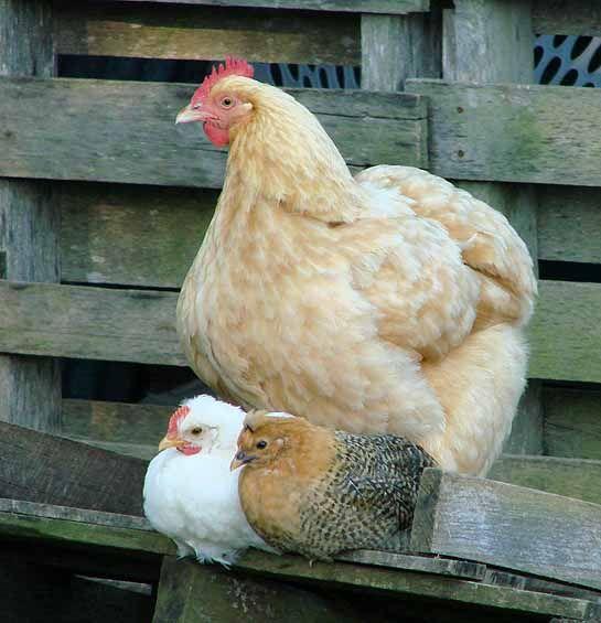 mother hen :)