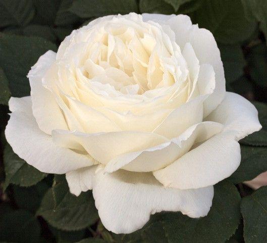 """""""Jeanne Moreau"""" ® Meilland Richardier. Rosier d'exception pour une grande dame du cinéma français : ses larges fleurs aux 100 pétales blancs azurés et au parfum enivrant sont portées par un buisson à la forte végétation. Floraison précoce, très abondante et ininterrompue."""