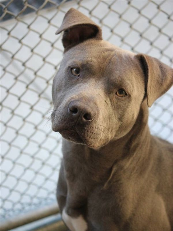 Adopt Mako On Pitbull Terrier Pitbulls Bull Terrier Mix
