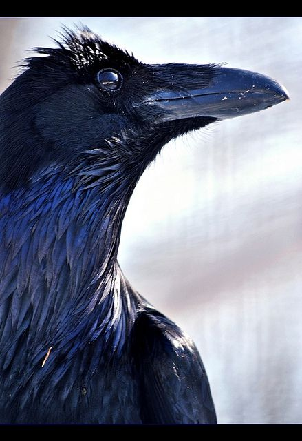 """I would Love to have a pet raven... VERY smart bird, and tamable.  Ravens can also be trained to talk.  I've seen one at a zoo say; """"Hangman's coming."""" ;-)   VERY COOL BIRD!!! <3"""