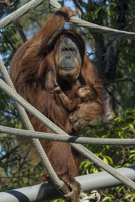 Mother and Baby Orangutan | bonjour mode singe | Pinterest ...