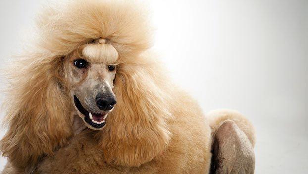 Dog Breed Selector Poodle (Standard) AlmostPerfect