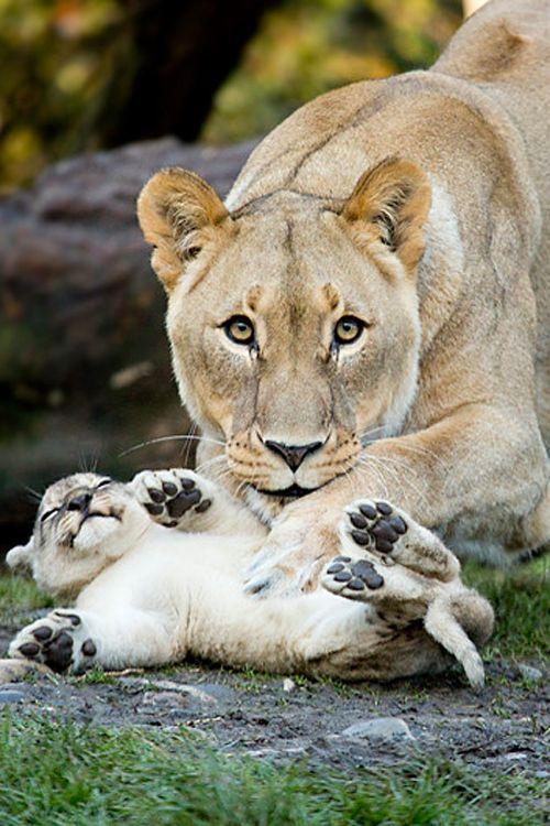 Tickling the cub by Daniel Münger #planet_wildcats #lion #cub