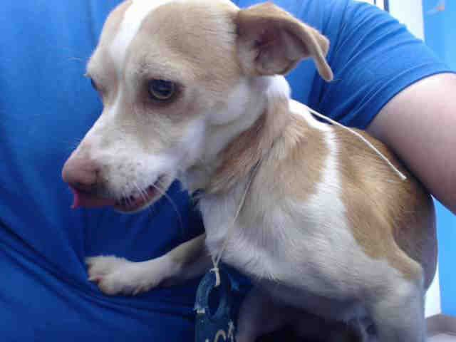 Houston Tx Id A507966 I Am A Male Tan And White Toy The Shelter Staff Think I Am About 3 Years Old I Have Been At Animal Shelter Humane Society Animals