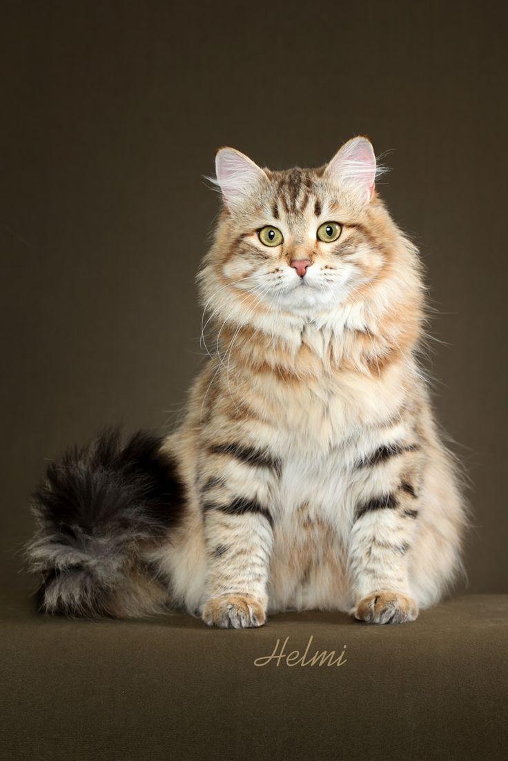 44 best Siberian Cat images on Pinterest