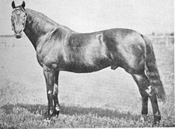 MUSKET Musket (1867–1885) was an English-bred Thoroughbred racehorse and a Leading sire in Australia and New Zealand. Musket sired the famous Carbine (great-great-grandsire of Nearco), Nordenfeldt, Trenton (a leading sire in Australasia and then exported), Martini Henry and Hotchkiss, all top sires.[2] Carbine in his day was considered one of the greatest horses in the world, whose feats included winning the 1890 Melbourne Cup with the impost of 10 st 5 lb in the record time of 3:28¼.