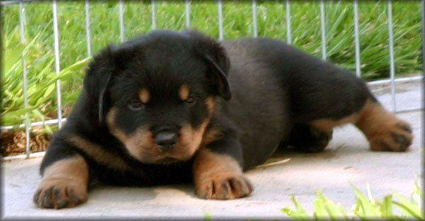 American Rottweiler puppy