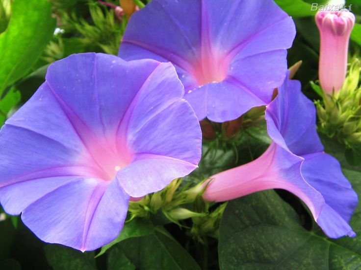 1000 Images About Gf Cl Merry Morning Glory Ipomea