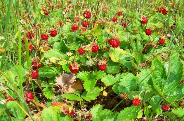 forest strawberries. aegna