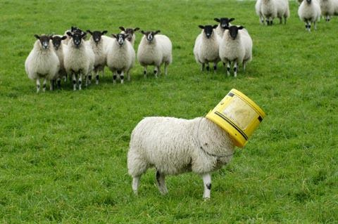 """A new game we like to call """"hide and go sheep""""."""