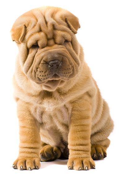 Chinese Shar-pei... one of the smaller breeds that I like. & LOVE ALL THE WRINKLES!!!