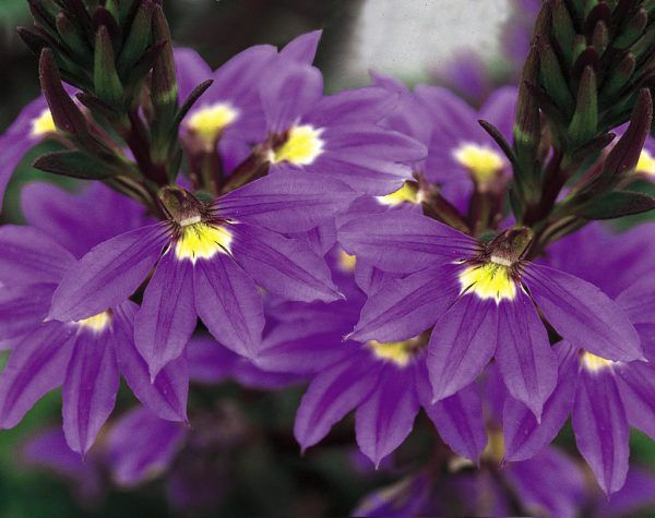 cultivo-de-la-escaevola-o-flor-de-abanico-04