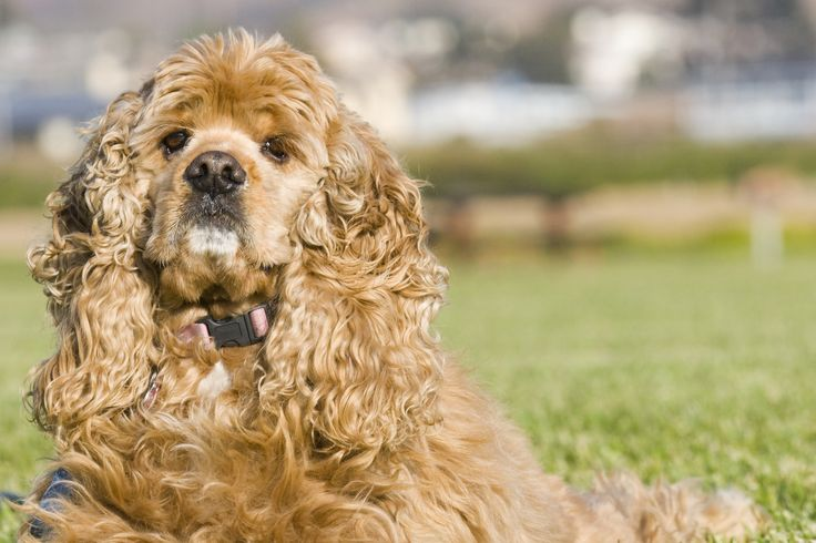 File:American Cocker Spaniel buff portrait.jpg - Wikipedia, the free ...