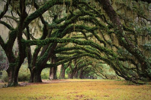 Mossy trees: Favorite Places, Natural Photography, Trees Tunnel, Awesome Natural, Inspiration Photography, Dark Forests, Trees Branches, Mossy Trees, Charleston South Carolina