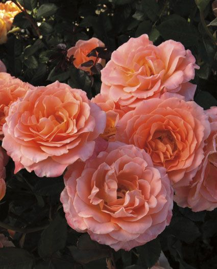 2014 Rose Introductions: Weeks Roses