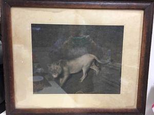 Turn Of Century UK Lion Print Photo? Framed Aldridge Gilder Frame Maker