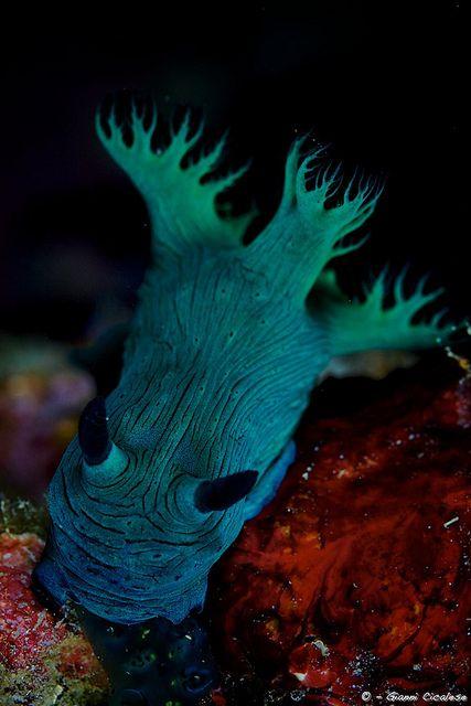Nembrotha milleri - nudibranch