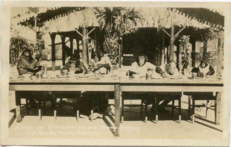 """Chimpanzees and an Orangutan Having Dinner at """"Monkey Farm"""", Culver City, CA, c. 1930's"""