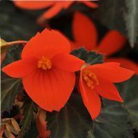 Begonia boliviensis 'California Sunlight'