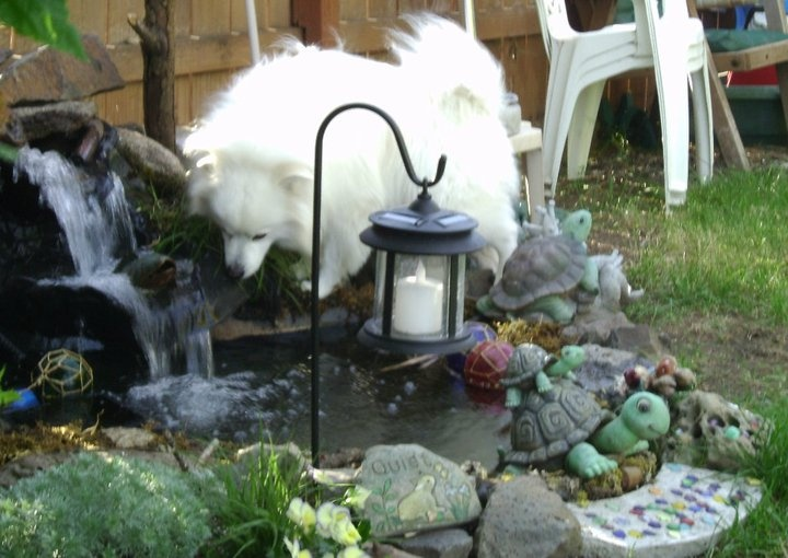 Our American Eskimo exploring the small pond in our yard. My grandson made the pond.: The Ponds, American Eskimo, Eskimo Exploring, Small Ponds