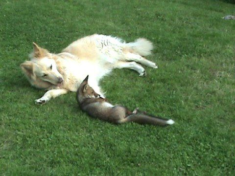 Dogs Molly and Saba play with an adorable orphaned fox cub.