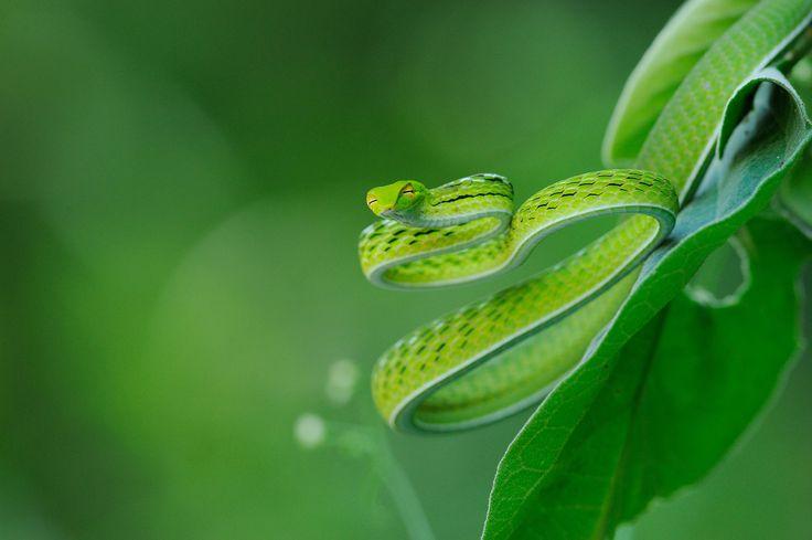 Defensive Oriental Vine Snake, Ahaetulla prasina in Kaeng Krachan national park