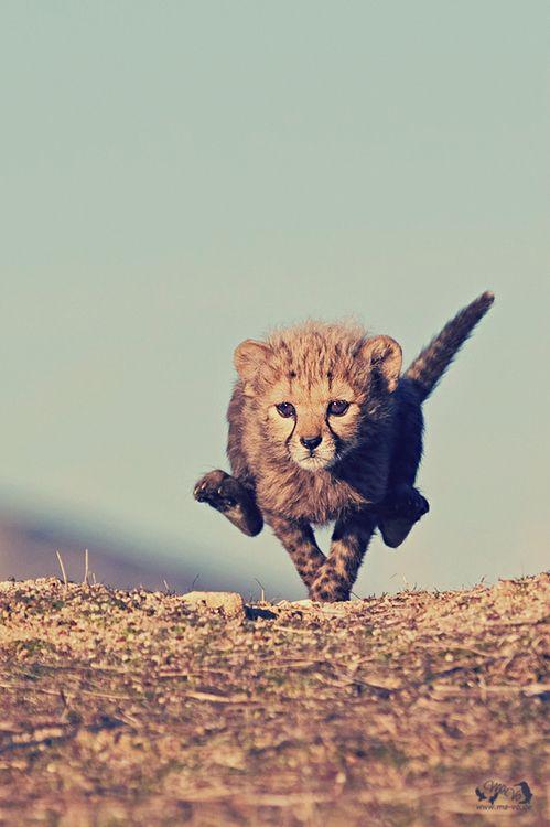 Baby cheetah cub running fast.