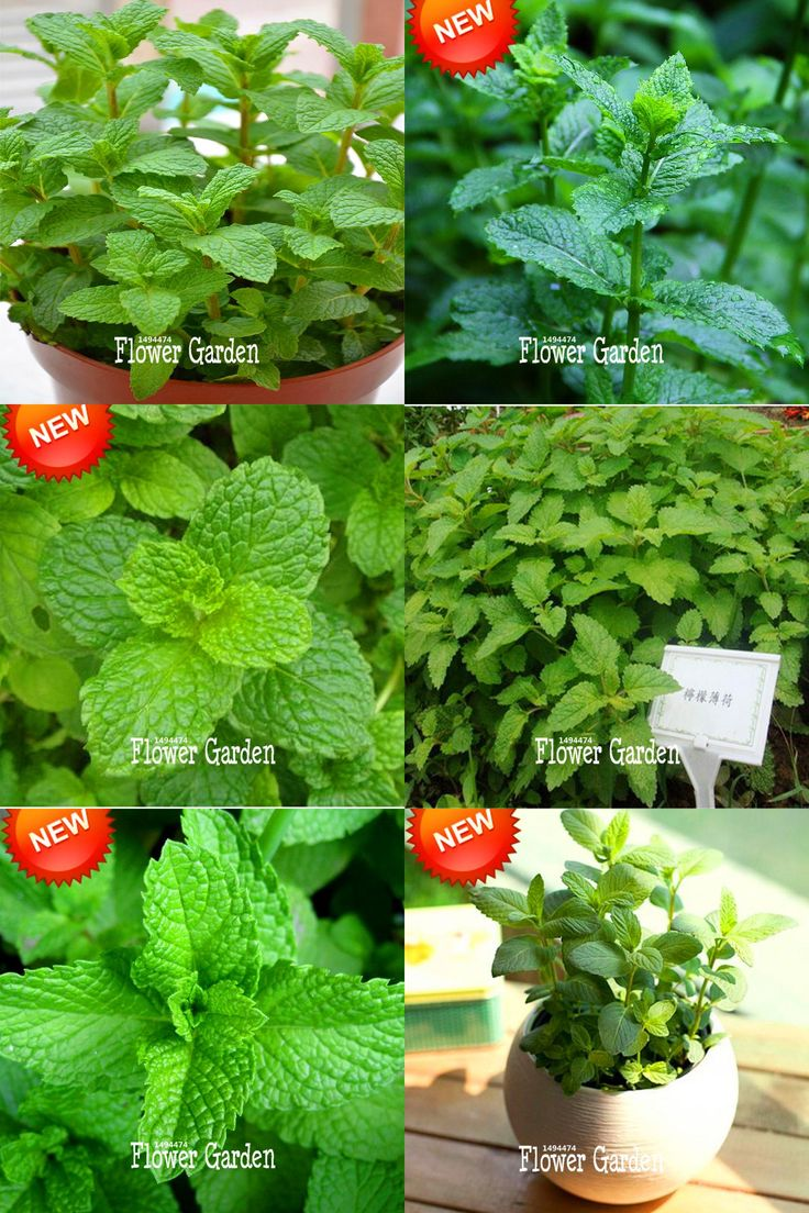 [Visit to Buy] New Seeds 2017!Foliage Plant Seeds Mentha Citrata Herbal Lemon Balm Lemon Mint Seeds 200 Pieces / lot,#7R76Q6 #Advertisement